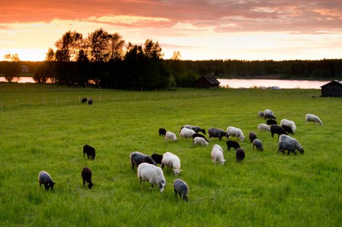 Får i Gäddvik, Luleå.