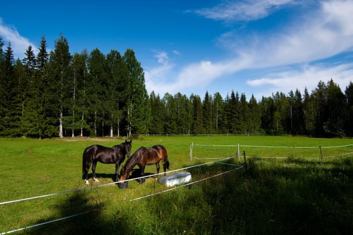 Hästar i Bälinge, Luleå. Fotograf Lars-Göran Norlin